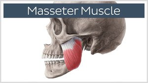 Masseter Muscle | Thrive Now Physio