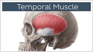 Temporal Muscle | Thrive Now Physio