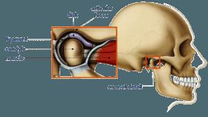 TMJ or Temporomandibular Joint | Thrive Now Physio